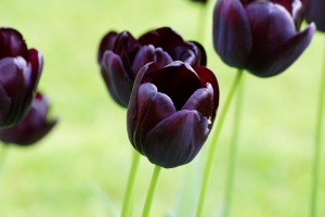 Tulipa Queen of Night - BIO