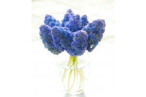 Muscari Fantasy Creation - BIO